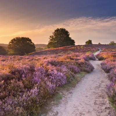Path through blooming heather at sunrise in The Netherlands, by: Sara Winter