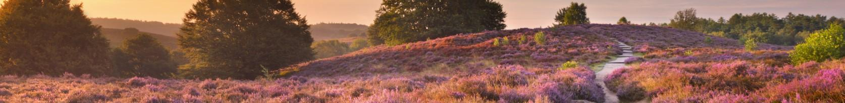 Path through blooming heather at sunrise in The Netherlands, by Sara Winter