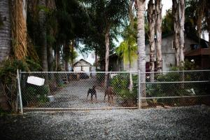 Dogs in a yard in Tooleville. Photograph: Talia Herman/The Guardian
